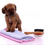 stehender Welpe mit Handtuch und Bürste